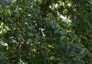 17-year circadas on tree leaves.
